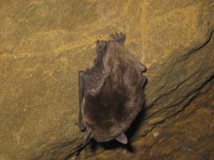 Летучая мышь в пещере